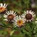 Carlina vulgaris - Photo (c) Steve Chilton, μερικά δικαιώματα διατηρούνται (CC BY-NC-ND)