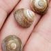 Steromphala cineraria - Photo (c) Nancy Kelley, algunos derechos reservados (CC BY-NC)