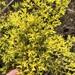 Paronychia virginica - Photo (c) Sam Kieschnick, algunos derechos reservados (CC BY)