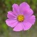 Cosmos bipinnatus - Photo (c) Silvano LG, μερικά δικαιώματα διατηρούνται (CC BY-NC)