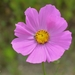 Garden Cosmos - Photo (c) Silvano LG, some rights reserved (CC BY-NC)