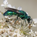 Chrysididae - Photo (c) Denis Doucet, μερικά δικαιώματα διατηρούνται (CC BY-NC)