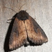 Macronoctua onusta - Photo (c) KT Thalin, μερικά δικαιώματα διατηρούνται (CC BY-NC)