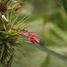 Tillandsia geminiflora - Photo (c) Marinês Eiterer, algunos derechos reservados (CC BY-NC)