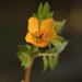 Kallstroemia parviflora - Photo (c) Jim West, alguns direitos reservados (CC BY-NC)