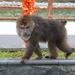 Macaca del Tibet - Photo (c) Sheelagh Halsey, algunos derechos reservados (CC BY-NC)