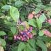 Viburnum nudum cassinoides - Photo (c) georgeflindsay, algunos derechos reservados (CC BY-NC)