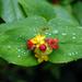 Hypericum androsaemum - Photo (c) Eric Hunt, algunos derechos reservados (CC BY-NC-ND)