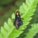 Cyphomyia leucocephala - Photo (c) Diogo Luiz, alguns direitos reservados (CC BY-SA)