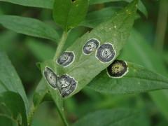 photo of Asteromyia carbonifera gall on Solidago leaf