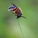 Punctate Wool-carder Bee - Photo (c) Marcello Consolo, some rights reserved (CC BY-NC-SA)