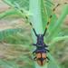 Dendrobias mandibularis - Photo (c) Jose Luis Leon de la Luz, algunos derechos reservados (CC BY-NC)