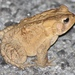 Eastern American Toad - Photo (c) Ty Smith, some rights reserved (CC BY-NC)