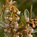 Lyonia ferruginea - Photo (c) Richard  Crook, algunos derechos reservados (CC BY-NC-ND)