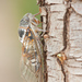 Common Cicada - Photo (c) Ralph Martin, some rights reserved (CC BY-NC-ND)