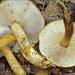 Tricholoma aurantium - Photo (c) Amadej Trnkoczy, algunos derechos reservados (CC BY-NC-SA)