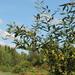 Salix triandra - Photo (c) Alexey P. Seregin, algunos derechos reservados (CC BY-NC)