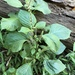 Beefsteak Plant - Photo (c) thc36, some rights reserved (CC BY-NC)