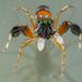 Siler semiglaucus - Photo (c) Roman Prokhorov, μερικά δικαιώματα διατηρούνται (CC BY-NC)