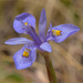 Moraea - Photo (c) Brendan Cole, algunos derechos reservados (CC BY-NC-ND)