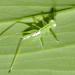 Meconematinae - Photo (c) Cheryl Harleston López Espino, algunos derechos reservados (CC BY-NC-ND)