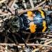 Nicrophorus tomentosus - Photo (c) Claire O'Neill, algunos derechos reservados (CC BY-NC)