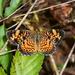 Mariposa Media Luna Perlada - Photo (c) Royal Tyler, algunos derechos reservados (CC BY-NC-SA)