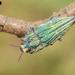 Ectinogonia speciosa - Photo (c) Vicente Valdes Guzman, algunos derechos reservados (CC BY-NC)