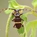 Trachyderes succinctus - Photo (c) Guillermo O., algunos derechos reservados (CC BY-NC)
