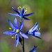 Small Camas - Photo (c) Brent Miller, some rights reserved (CC BY-NC-ND)