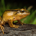 Nibaldo's Wood Frog - Photo (c) Vicente Valdes Guzman, some rights reserved (CC BY-NC)