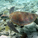 Green Sea Turtle - Photo (c) Charlie Shuetrim, some rights reserved (CC BY-NC)