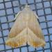 Eublemma recta - Photo (c) Monica Krancevic, algunos derechos reservados (CC BY-NC)