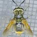 Hoplitimyia mutabilis - Photo (c) Monica Krancevic, μερικά δικαιώματα διατηρούνται (CC BY-NC)