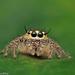 Hyllus semicupreus - Photo (c) Richard Ong, algunos derechos reservados (CC BY-NC)