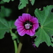 Tree Mallow - Photo (c) Σάββας Ζαφειρίου (Savvas Zafeiriou), some rights reserved (CC BY-NC)