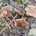 Laccaria striatula - Photo no rights reserved