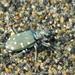 Cicindela oregona - Photo (c) Sean McCann, algunos derechos reservados (CC BY-NC-SA)
