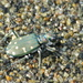 Western Tiger Beetle - Photo (c) Sean McCann, some rights reserved (CC BY-NC-SA)