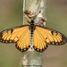 Yellow Coster - Photo (c) Aniruddha Singhamahapatra, some rights reserved (CC BY-NC)