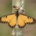 Acraea issoria - Photo (c) Aniruddha Singhamahapatra, osa oikeuksista pidätetään (CC BY-NC)