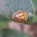 Coptocycla atriceps - Photo (c) Diogo Luiz, algunos derechos reservados (CC BY-SA)