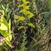 Solidago nemoralis decemflora - Photo (c) cassi saari, algunos derechos reservados (CC BY-NC)