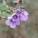 Velvet Mint-Bush - Photo no rights reserved