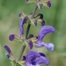 Salvia pratensis - Photo (c) Bas Kers, μερικά δικαιώματα διατηρούνται (CC BY-NC-SA)