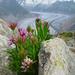 Trifolium alpinum - Photo (c) Josef F. Stuefer, algunos derechos reservados (CC BY)