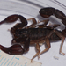 Texas Cave Scorpion - Photo (c) Benjamin Schwartz, some rights reserved (CC BY-NC)