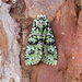 Merveille du Jour - Photo (c) Ben Sale, some rights reserved (CC BY)