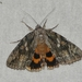 Bride Underwing - Photo (c) Susan Blayney, some rights reserved (CC BY)