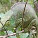 Calumma parsonii - Photo (c) c michael hogan, algunos derechos reservados (CC BY-NC)